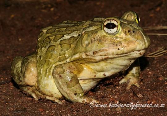 African Bullfrog (Pyxicephalus edulis)