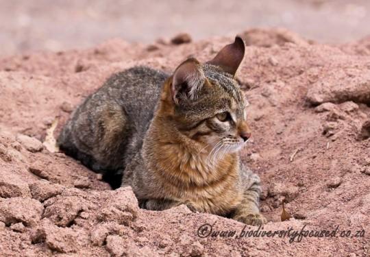 African Wild Cat (Felis silvestris cafra)