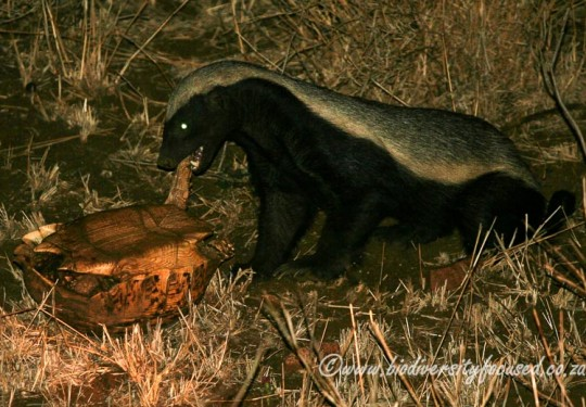 Honey Badger (Mellivora capensis) with Leopard Tortoise (Stigmochelys pardalis) prey