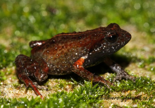 Bainskloof Moss Frog (Arthroleptella bicolor)