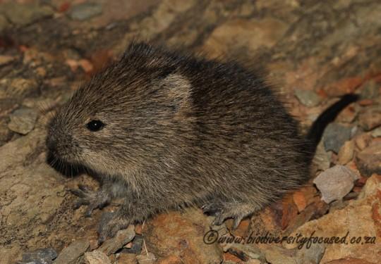 Bush Karoo Rat (Otomys unisulcatus)