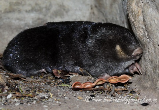 Cape Golden Mole(Chrysochloris asiatica)