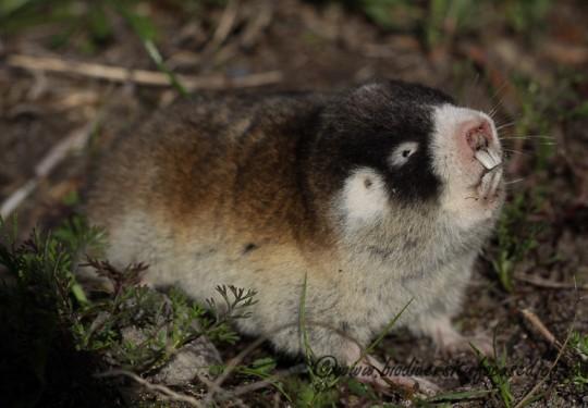 Cape Mole-rat (Georychus capensis)