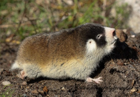 Cape Mole-rat (Georychus capensis)