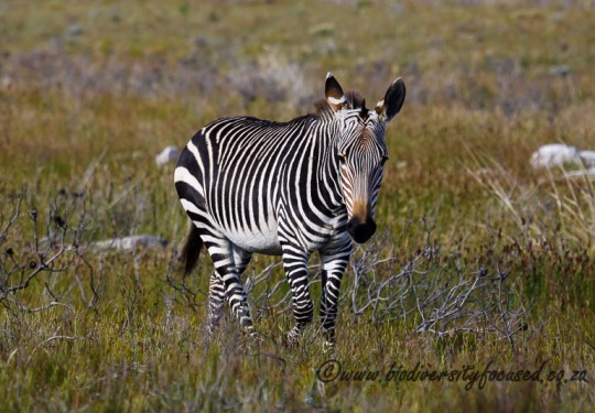 Cape Mountain Zebra (Equus zebra zebra)