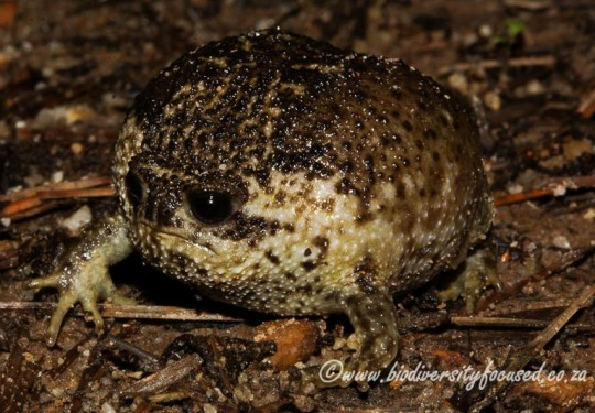 Cape Rain Frog (Breviceps gibbosus)