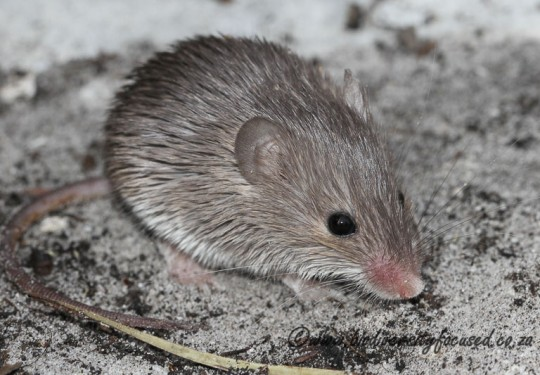 Cape Spiny Mouse (Acomys subspinosus)