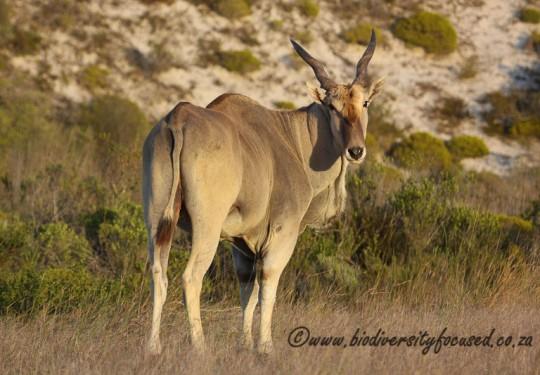 Common Eland (Tragelaphus oryx)