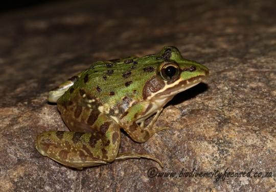 Common River Frog (Amietia delalandii)