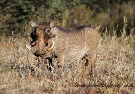 Common Warthog (Phacochoerus africanus)