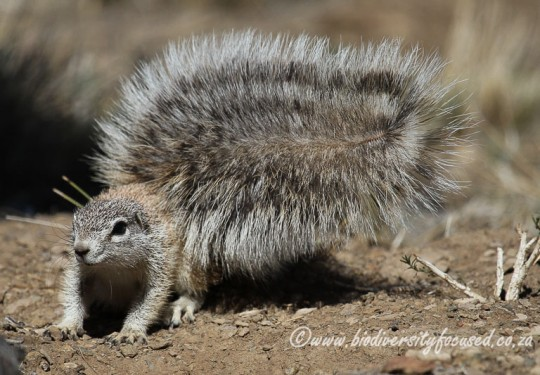 Damara Ground Squirrel (Xerus princeps)