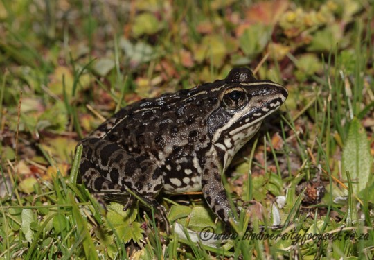 Common River Frog (Amietia delalandii)