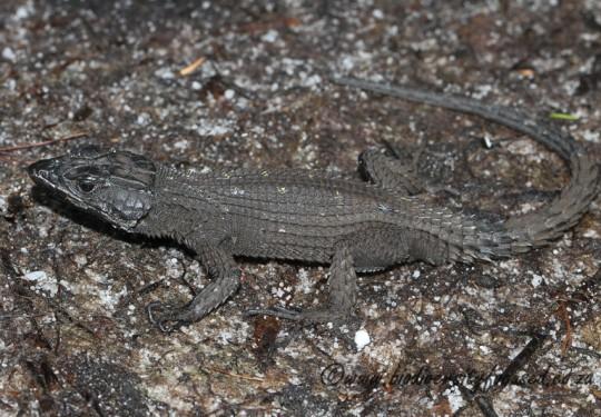 Dwarf Cliff Lizard (Hemicordylus nebulosus)