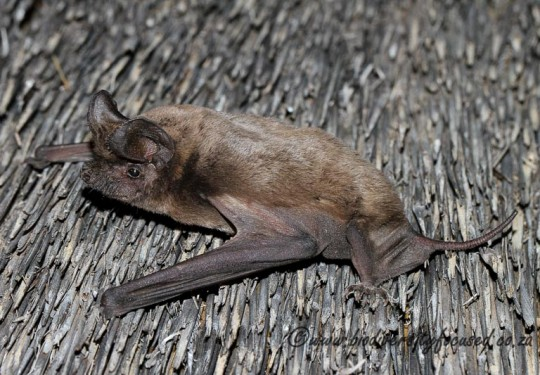 Egyptian Free-tailed Bat (Tadarida aegyptiaca)