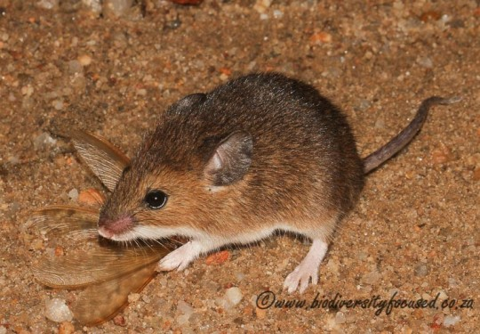 Fat Mouse (Steatomys pratensis)
