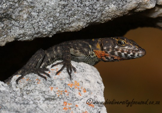 Graceful Cliff Lizard (Hemicordylus capensis)