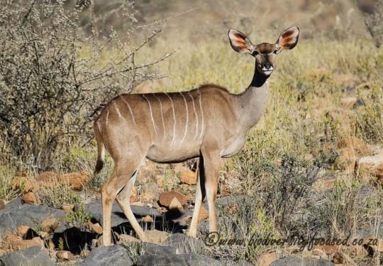 Greater Kudu female (Tragelaphus strepsiceros)