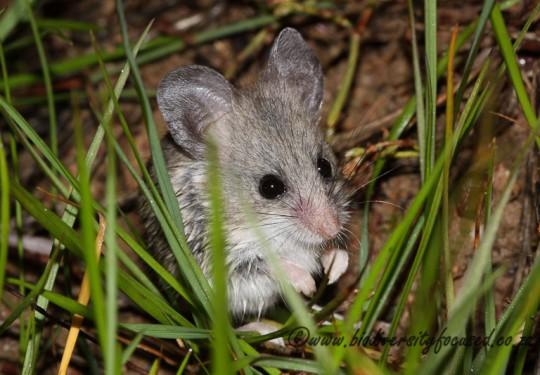 Grey Climbing Mouse (Dendromus melanotis)