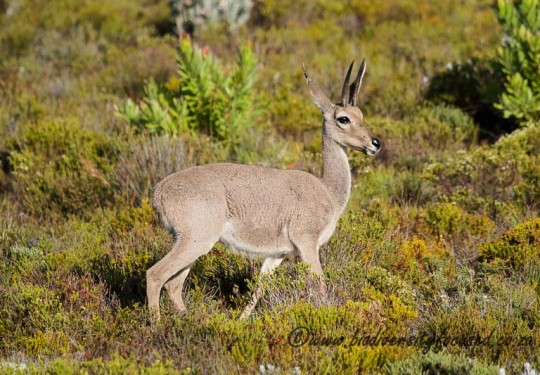 Grey Rhebok Male (Pelea capreolus)