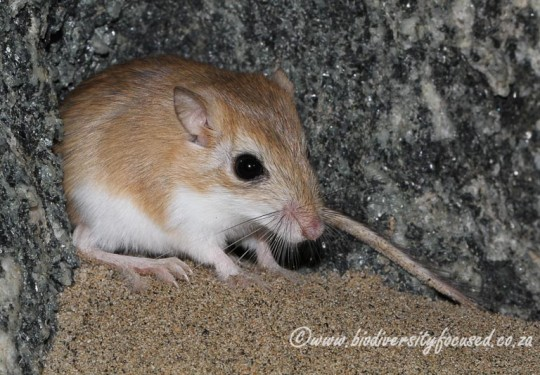 Hairy-footed Gerbil (Gerbillurus paeba)