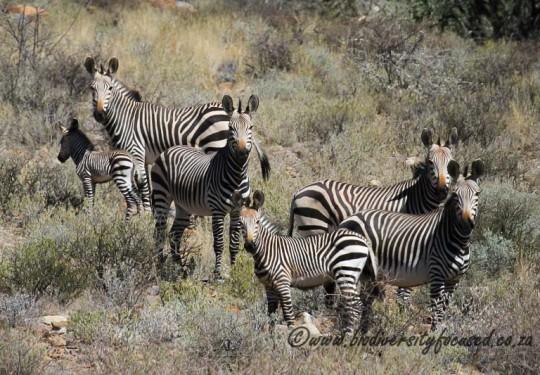 Hartmanns Mountain Zebra (Equus zebra hartmannae)