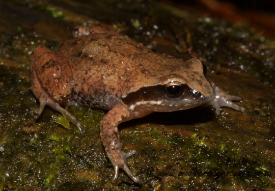 Hogsback Chirping Frog (Anhydrophryne rattrayi)