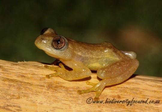 Knysna Leaf-folding Frog (Afrixalus knysnae)