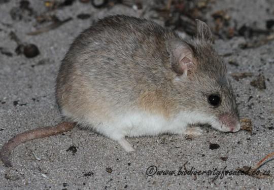 Krebs Fat Mouse (Steatomys krebsii)