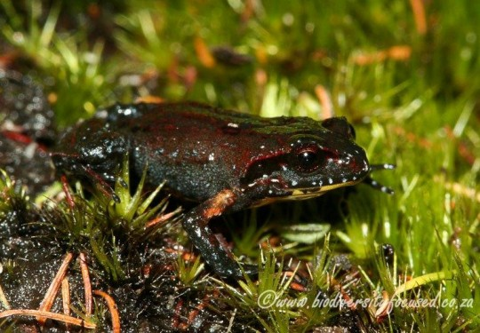 Kogelberg Moss Frog (Arthroleptella kogelbergensis)