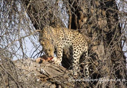 Leopard (Panthera pardus) with African Wild Cat (Felis silvestris griselda) prey