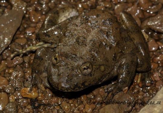 Maluti River Frog (Amietia vertebralis)