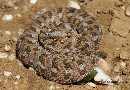 Many-horned Adder (Bitis cornuta)