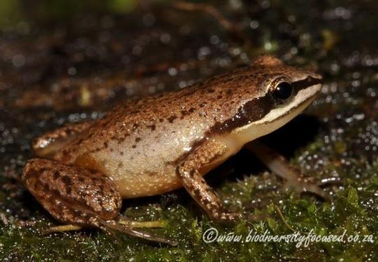 Mistbelt Chirping Frog (Anhydrophryne ngongoniensis)