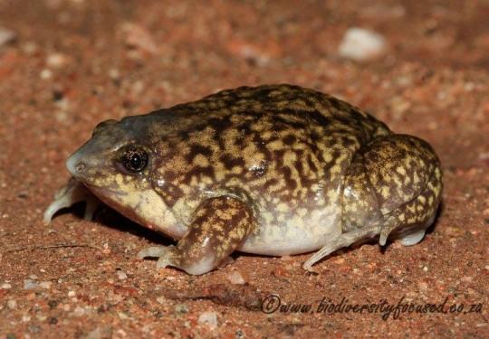 Mottled Shovel-nosed Frog (Hemisus marmoratus)