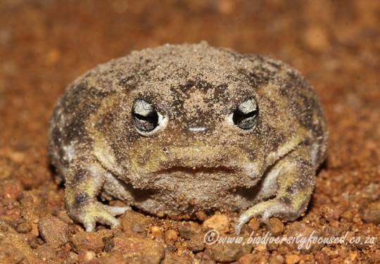 Namaqua Rain Frog (Breviceps namaquensis)