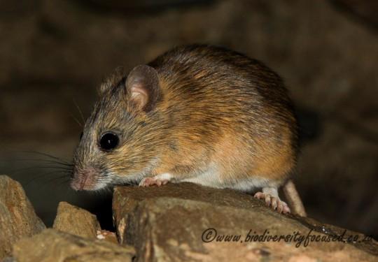 Namaqua Rock Mouse (Micaelamys namaquensis)