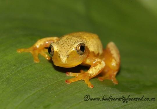 Natal Leaf-folding Frog (Afrixalus spinifrons intermedius)
