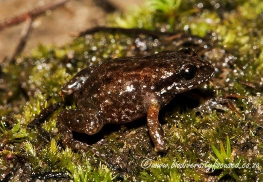 Northern Moss Frog (Arthroleptella subvoce)