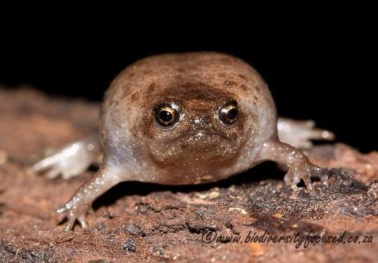 Plain Rain Frog (Breviceps fuscus)