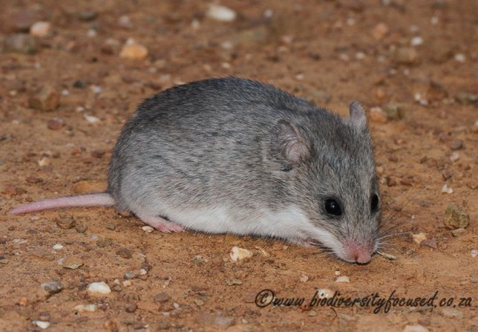 Pouched Mouse (Saccostomus campestris)