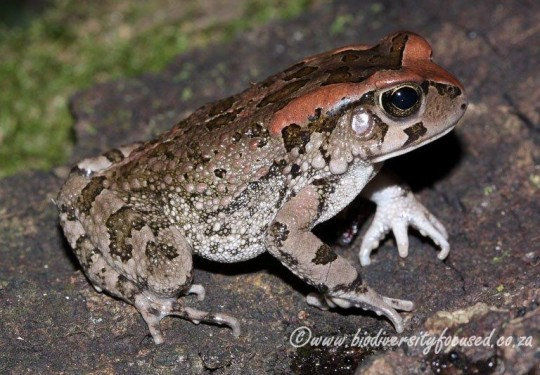 Raucous Toad (Sclerophrys capensis)