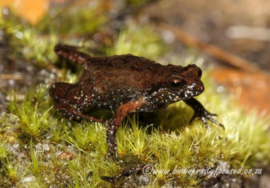 Rough Moss Frog (Arthroleptella rugosa)