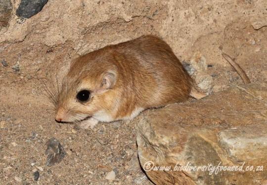 Short-tailed Gerbil (Desmodillus auricularis)