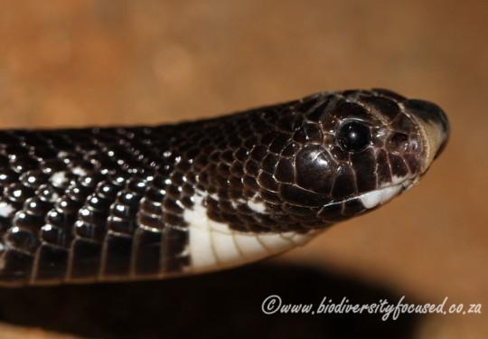 Shovel-nosed Snake (Aspidelaps scutatus scutatus)