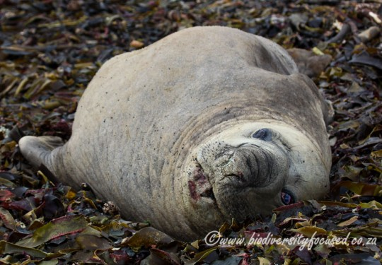 Southern Elephant Seal (Mirounga leonina) male