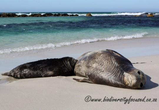 Southern Elephant Seal (Mirounga leonina) female and pup