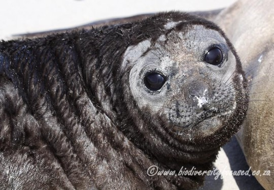 Southern Elephant Seal (Mirounga leonina) pup