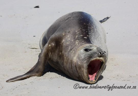 Southern Elephant Seal (Mirounga leonina) female