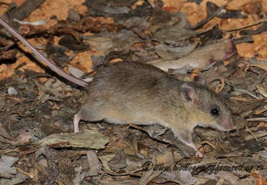Verreauxs Mouse (Myomyscus verreauxii)
