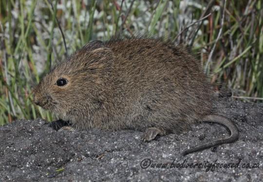 Vlei Rat (Otomys irroratus)